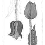 Tulipanomania #8