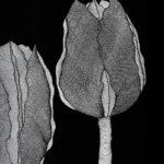 Tulipanomania #4
